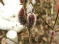 春の猫柳002